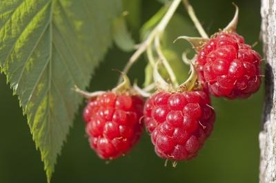 køb raspberry ketone her