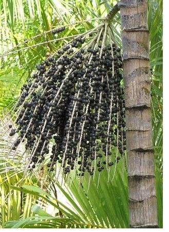 acai bær palme